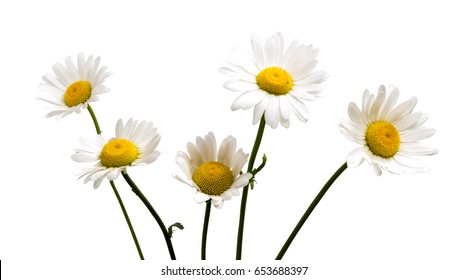 Top view of a white daisy isolated on a white background.