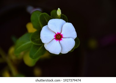 Top view of white petals and pink center of peri winkle flower or catharnathus flower blooming in winter season at the garden on beautiful blur background.