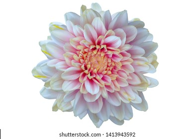 Top view of White pink Chrysanthemum flower isolated on white background.