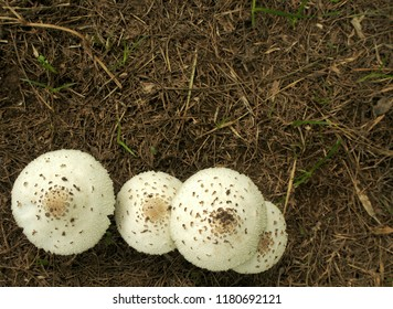 Top view of white toxic mushroom or poison mushroom or chlorophyllum molybdites mushroom in the tropical country