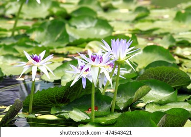 Top View of White Violet Lotus Flower in Water Pond