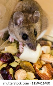 Top view of a wild brown house mouse, Mus musculus, standing on a pile of nuts with a piece of cheese in its mouth.