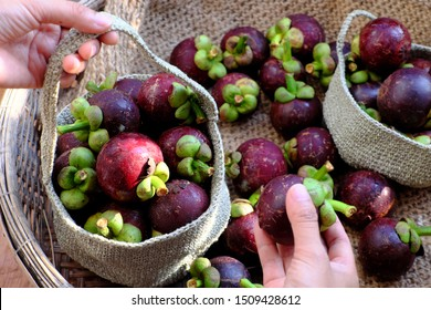 Top view woman hand selection fresh Mangosteen or Mangostana Garcinia for the handbag, kind of seasonal Vietnamese tropical fruit that juicy, delicious, rich vitamin with violet hard rind