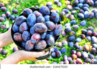 Top view of a woman's hand holding black rustic bowl with blue plums in a orchard.Plum harvest. Farmers hands with freshly harvested plums