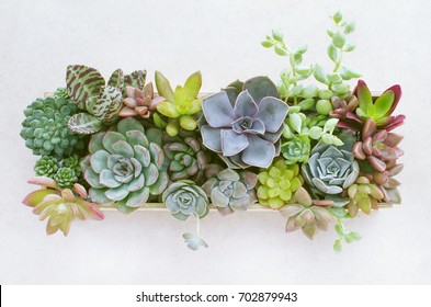 Top view of wooden box of flowering echeveria, sedum succulent house plants arrangement background
