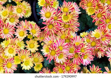 Top view of yellow chrysanthemum for backgrond use