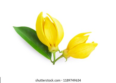 Top view Ylang-Ylang flower,Yellow fragrant flower on white background.