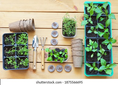 Top view of young green seedlings of garden flowers: petunia, portulaca and dahlia on wooden background. Growing seedlings  with peat tablets and pots. Spring gardening at home. Flat lay, close-up