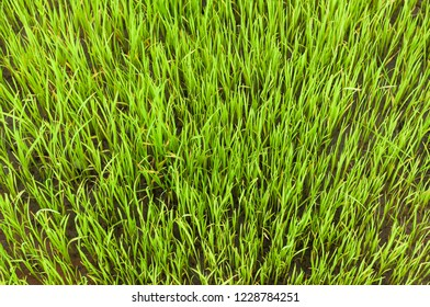 top view of young rice sprout for background,rice field
