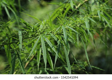 Top of wild female hemp (Cannabis sativa) plant medical cannabis in nature with blur background. Here you can see the wild cannabis bud or fruit or enclosed in hairy bract. Thailand. Close-up.