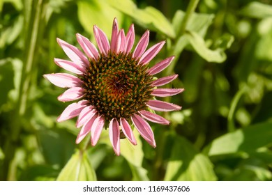 Top-down close up of a young Purple Coneflower. Also known as a hedgehog Coneflower. Todmorden Mills Park, Toronto, Ontario, Canada.