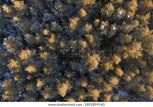 Top-down view of a winter pine forest. Tops of trees are illuminated brightly by the sun. No people