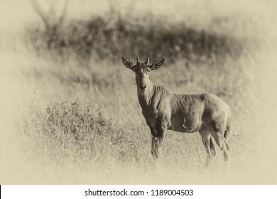 Topi antelope in the Serengeti National Park, Great Rift Valley, Tanzania, Africa