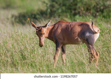 Topi antelope in the Serengeti National Park, Great Rift Valley, Tanzania, Africa
