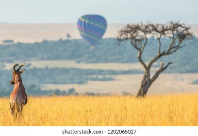 Topi antelope standing in the savanna in the background of a flying balloon. Africa. Kenya. Tanzania. Masai Mara. Serengeti.