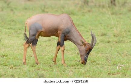 """Topi grazing (scientific name: Damaliscus lunatus jimela or """"Nyamera"""" in Swaheli) in the Serengeti National park, Tanzania"""