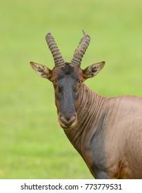 """Topi (scientific name: Damaliscus lunatus jimela or """"Nyamera"""" in Swaheli) in the Serengeti National park, Tanzania"""