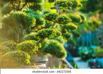 Topiary Art Garden Plants. Beautiful Shaped Decorative Garden Plants in Sunset Light.