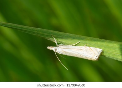 A Topiary Grass-veneer Moth perches upside down on a blade of grass. Also known as a Subterranean Sod Webworm and Cranberry Girdler. Lower Don Parklands, Toronto, Ontario, Canada.
