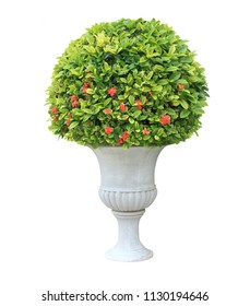 Topiary of red flower Ixora plant on the white urn pot container isolated on white background for formal European style garden