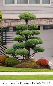 Topiary tree in front yard of luxury home in suburban North American neighborhood