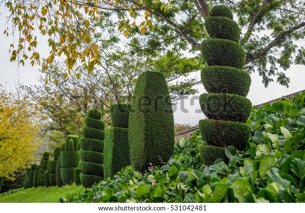 Topiary Tree Horticulture Spiral Cut Thuja Stock Photo Edit Now