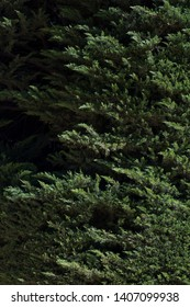 Topiary trees. Decorative garden into shape. Evergreen cypress hedges maze background. Green hedge of cypress trees Cypress green natural background.