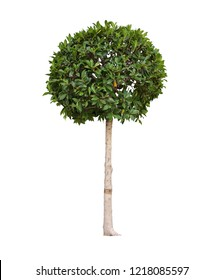 Topiary trees in the pot isolated on white background with clipping path