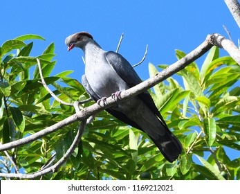 Topknot pigeon on branch