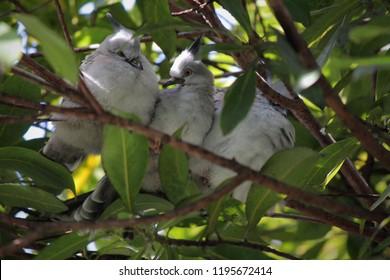 Topknot Pigeon, Queensland, Australia