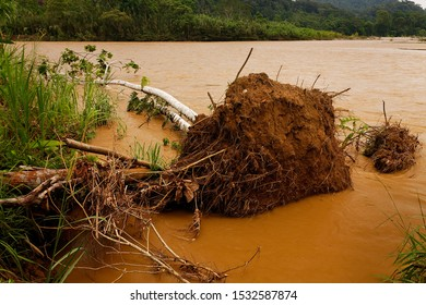 Toppled tree as a result of erosion on the Anzu River, Amazon rainforest