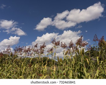 Tops of cornstalks after Fall harvest against bright blue skies with soft white clouds.