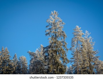 tops of firs in hoarforst