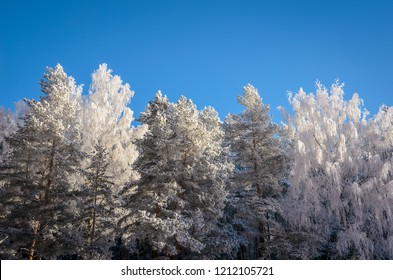 tops of the forest trees all in hoarfrost