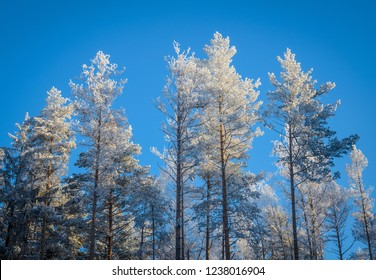 tops of frozen pines in cold and clear winter day