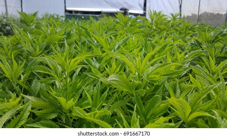 """The tops of growing cannabis """"mom"""" plants in a nursery greenhouse. """"Mom"""" plants are used to create clones for additional plant stock."""