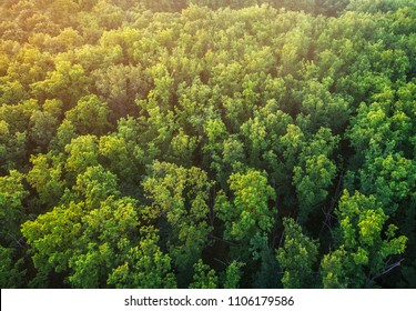 The tops of an oak forest. A view of the trees from a bird's-eye view.