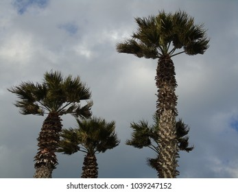 tops of palm trees