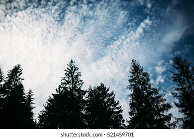 The tops of the pine trees on a background of blue sky with clouds. Silhouette. Background image.