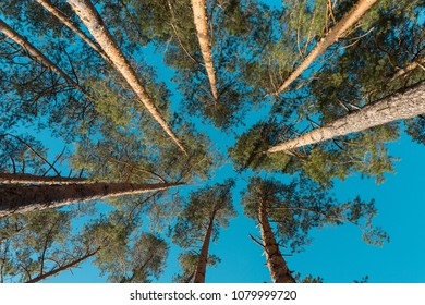 Tops of pines on a background of blue sky, view from below.
