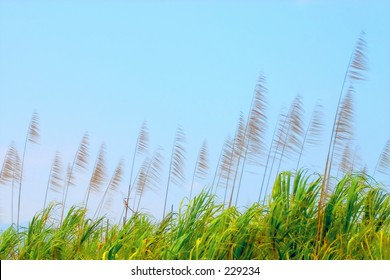 The tops of the plants in a field of sugar cane against a blue sky.