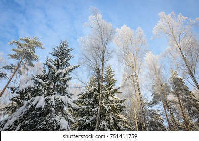 tops of snow covered birches, pines and spruces