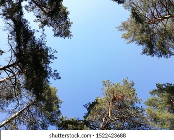 tops of trees bottom view on blue sry background.Looking Up In Spring Pine Forest Tree To Canopy at sunny day.coniferous forest bottom view in summer.tall pine trees and blue sky with  space for text