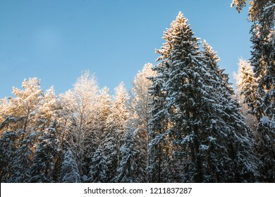 Tops of trees covered snow in winter day and sky background. Beautiful winter scenery in cold evening in Russia