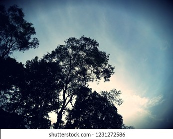 Tops of trees, view from the bottom to the top. tree silhouettes.Image contain certain grain or noise and soft focus when view at full resolution