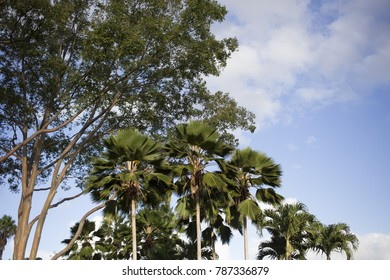 Tops of Tropical Trees Against Blue Sky in Hawaii
