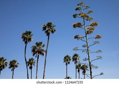 Tops of tropical trees in Scottsdale, Arizona