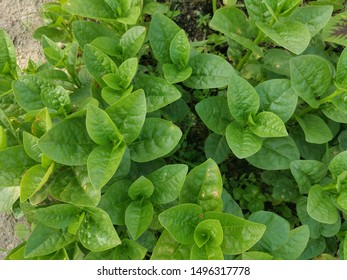 topview of basella alba spinach at the farm