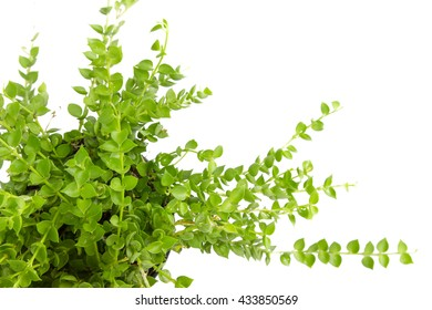 Topview of green plant isolated on a white background