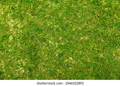 Topview, mossy floor or forest moss ground, natural green background